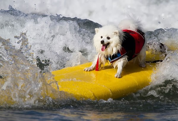 Surfdog - Modalidade Para Cães