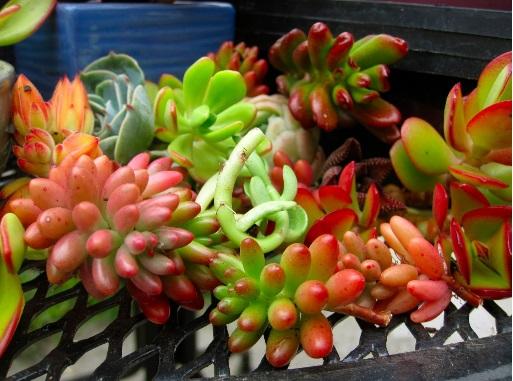 Plantas Suculentas  Como .Cultivar Fazer Mudas