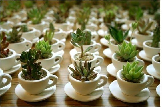 Plantas Suculentas  Como Cultivar Fazer Mudas