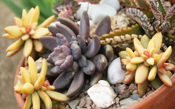 Plantas Suculentas – Como Cultivar e Fazer Mudas