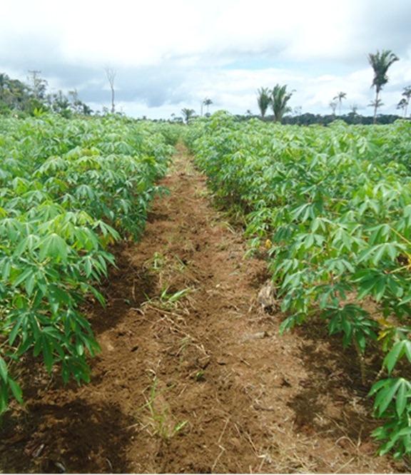 Mandioca  Como Plantar