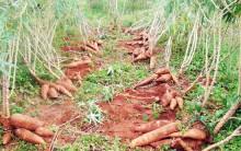 Mandioca – Dicas de Como Plantar