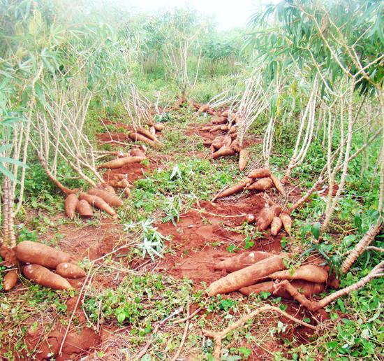 Mandioca - Como Plantar