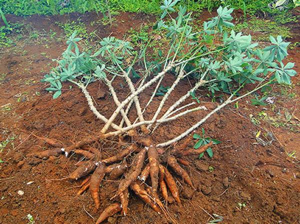 Mandioca - Dicas de Como Plantar