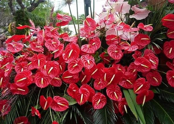 Plantas Ornamentais Tóxicas - anturio
