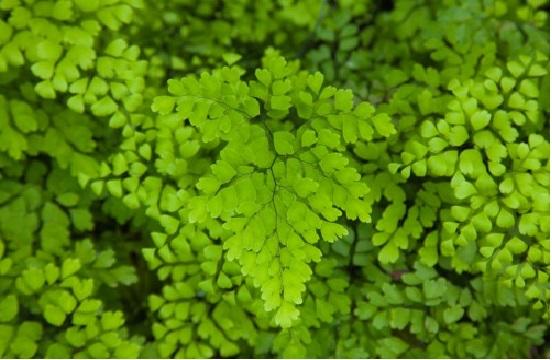 Plantas Ornamentais Tóxicas -avenca