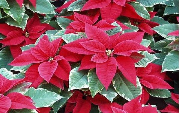 Plantas Ornamentais Tóxicas -bico