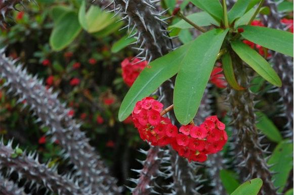 Plantas Ornamentais Tóxicas -coroa