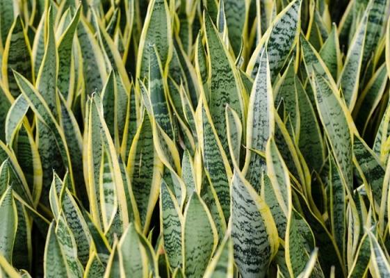 Plantas Ornamentais Tóxicas -espada