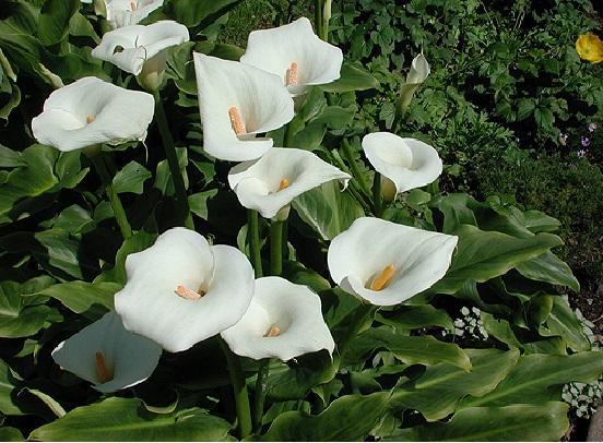 Plantas Ornamentais Tóxicas -lirio
