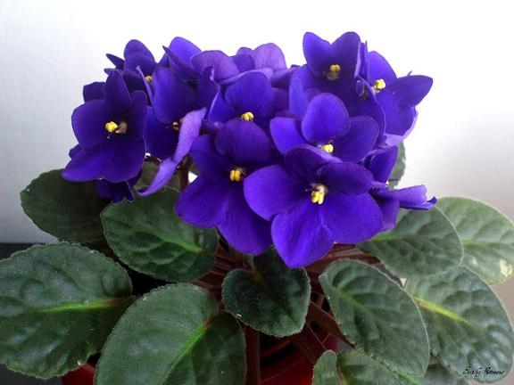 Plantas Ornamentais Tóxicas -violeta