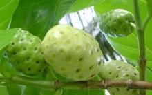 Fruta Noni – Benefícios e Como Preparar