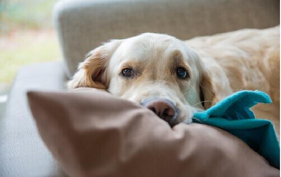 Cachorros Que Arranham a Própria Cama-