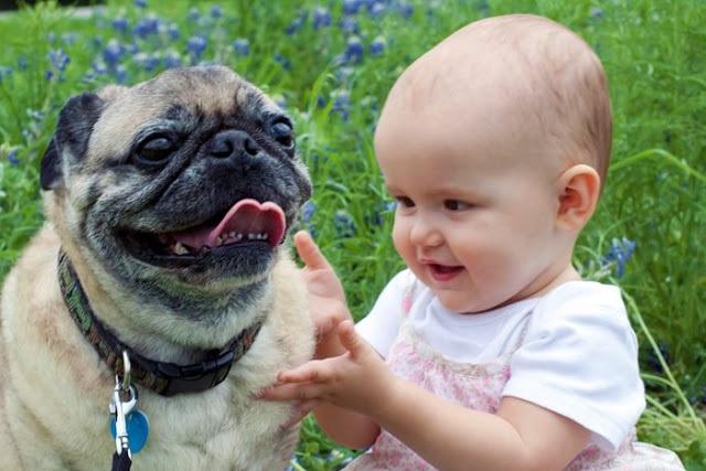 Raças de Cachorros Para Famílias - pug