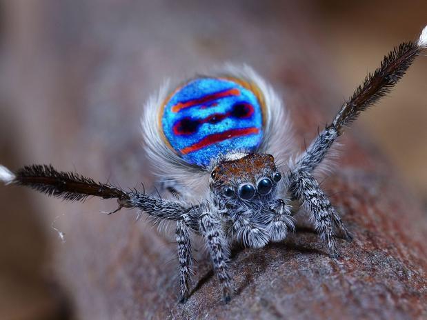 Aranha Pavão – Novas Descobertas