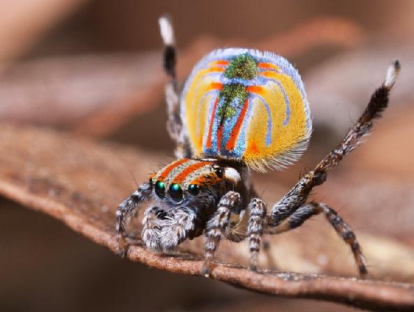Aranha Pavão Novas Descobertas