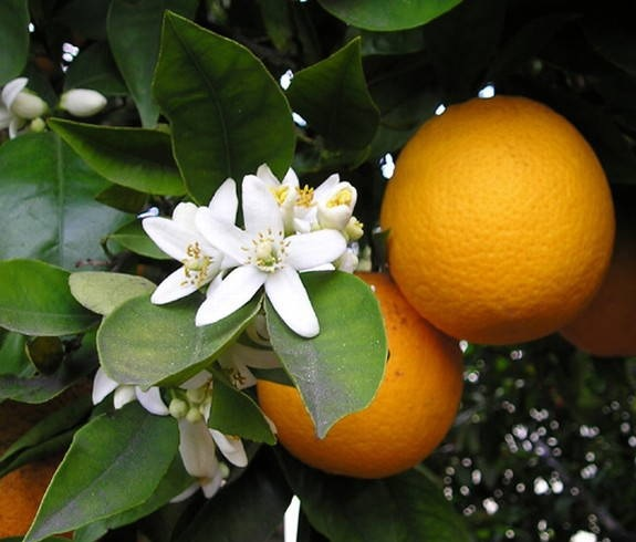 Flor de Laranjeiras  Propriedades e Benefícios