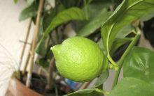 Limoeiro Aromatizando Ambiente – Como Plantar