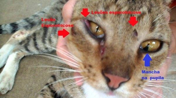 Esporotricose Em Gatos- Sintoma