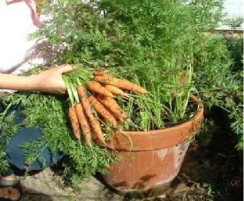 horta em vasos  cenoura
