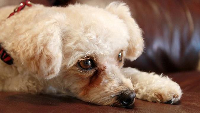 ágrimas Ácidas Em Cães –