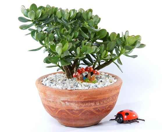 purificar-o-ar-com-planta-jade