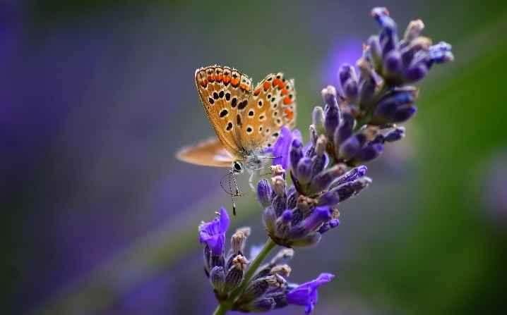 borboletas-no-jardim-lavanda