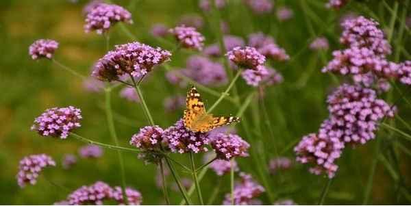 borboletas-no-jardim-verbena