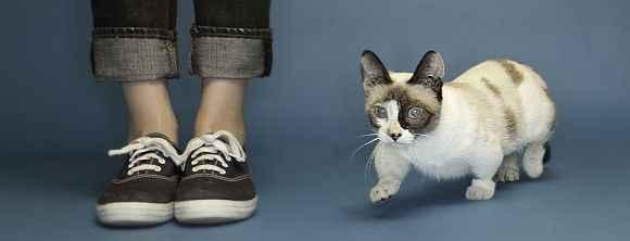 Mini Gatos Munchkim - Características e Fotos
