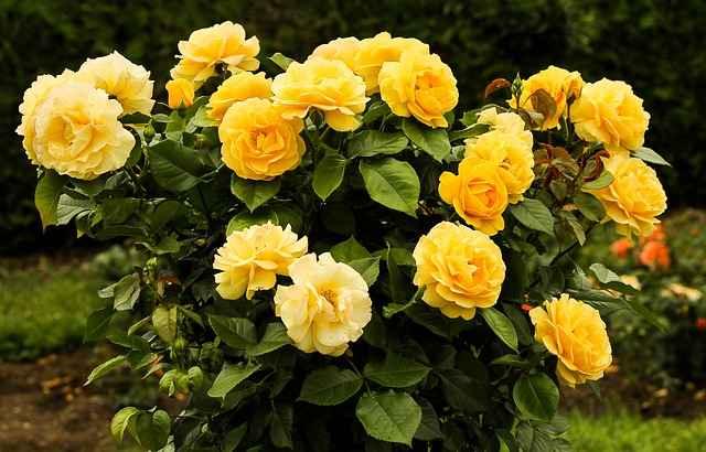 Podar Rosas – Quando e Como Fazer