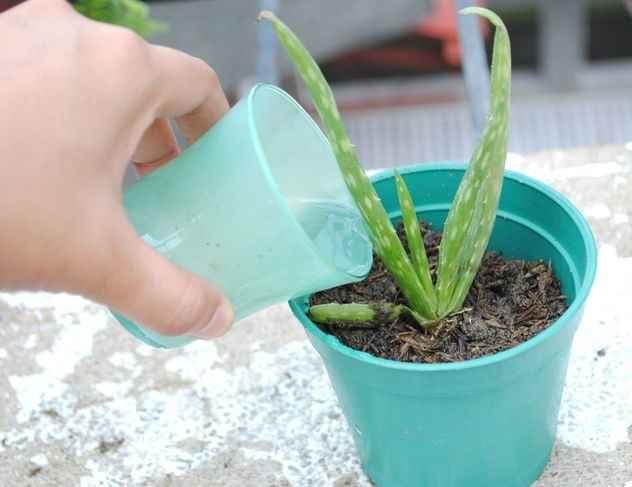 Babosa Em Vaso - Como Cultivar