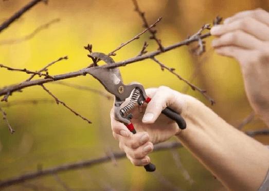 Uvas Em Vaso – Como Plantar