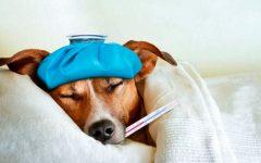 Gripe Em Cachorro – Como Prevenir