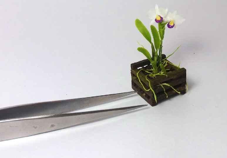 Micro ou Mini Orquídeas – Como Cultivar