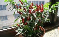 Pimenta – Como Cultivar