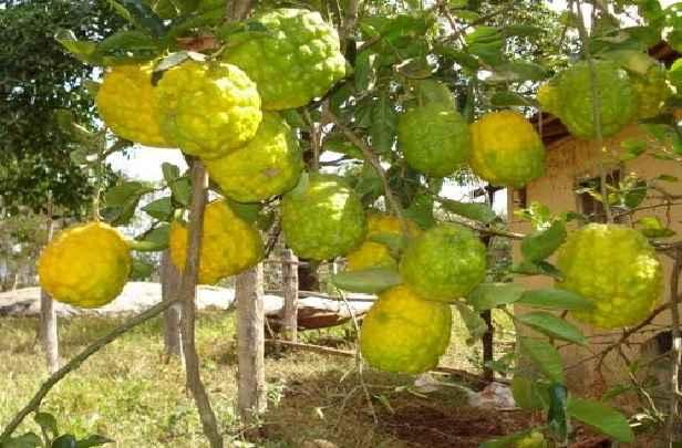 Fruta Cidra - Nutrientes e Benefícios