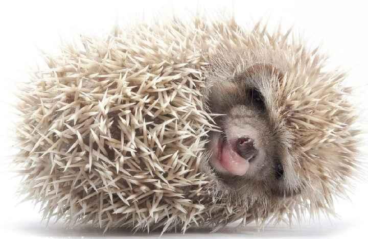 Ouriço Hedgehog - Cuidados