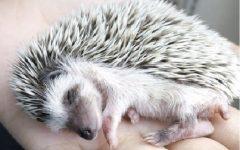 Ouriço Hedgehog – Cuidados