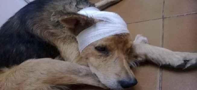 Orelha do Cão Machucada – Como Cuidar