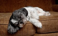Parvovirose Canina – Causas e Sintomas