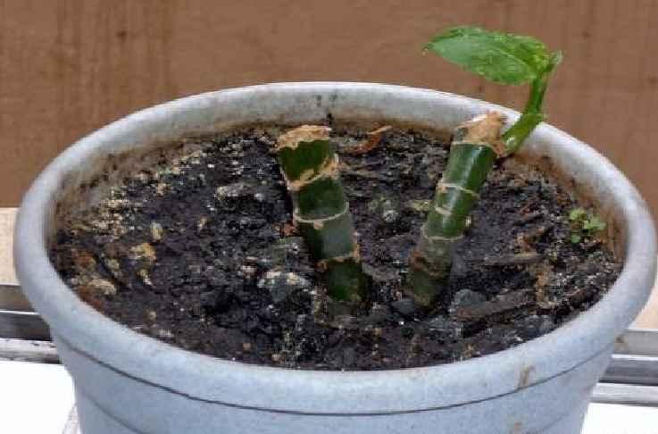 Planta Comigo-Ninguém-Pode – Como Cuidar