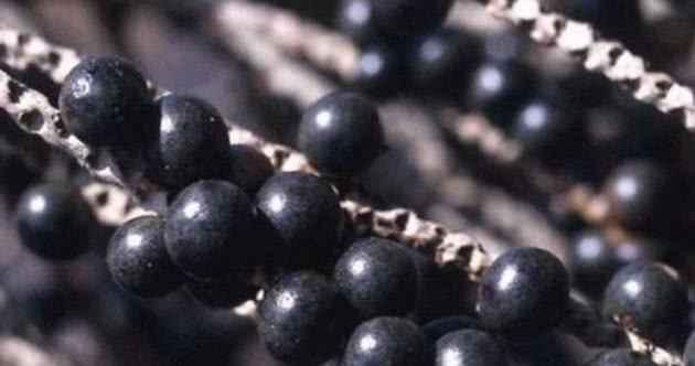 Óleo de Açaí – Benefícios e Como Usar