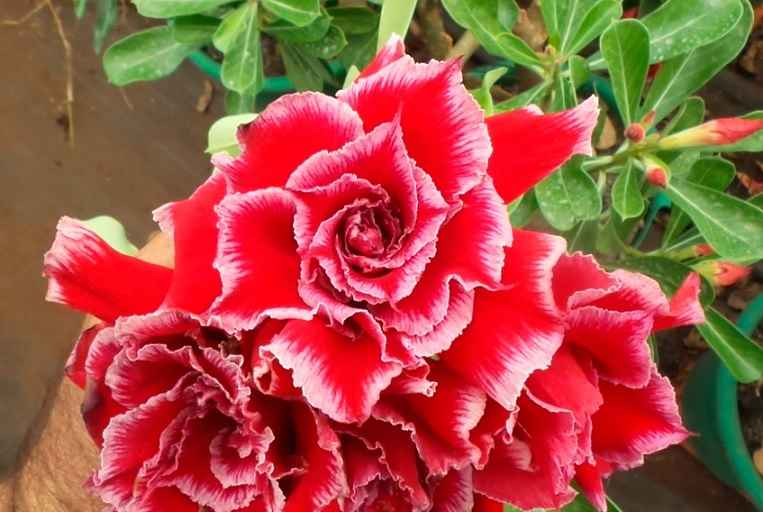 Rosas do Deserto – Como Cultivar