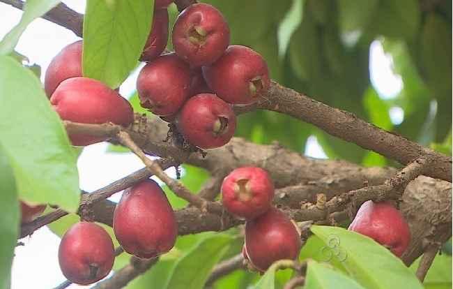 Fruta Jambo – Benefícios Para Saúde