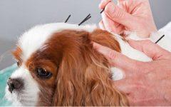 Acupuntura Para Pets – Indicações