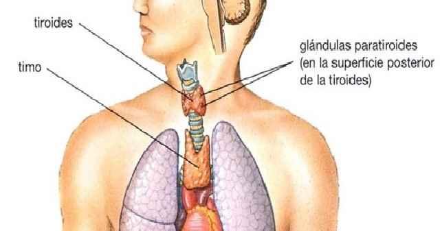 Glândula Timo – Como Funciona