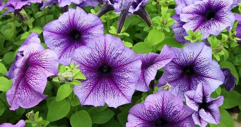 Petúnias a Flor do Verão – Como Plantar e Cuidar