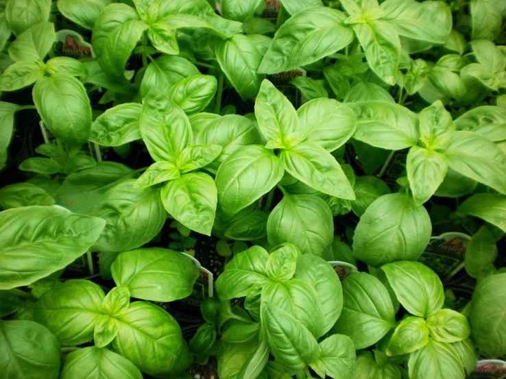 Plantas Inseticidas Naturais – Dicas