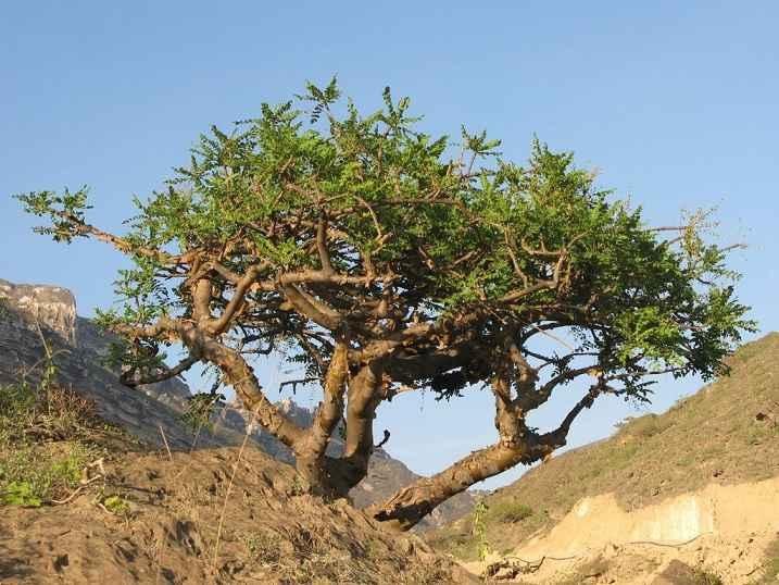 Óleo Essencial de Olíbano – Benefícios