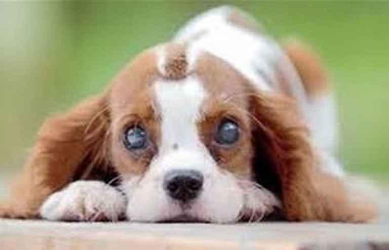 Catarata Em Cães – Sintomas e Tratamentos